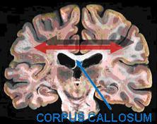 corpus_frontal_oscil_popiska.jpg